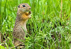 Единственная популяция крапчатого суслика обитает под Карачевом.
